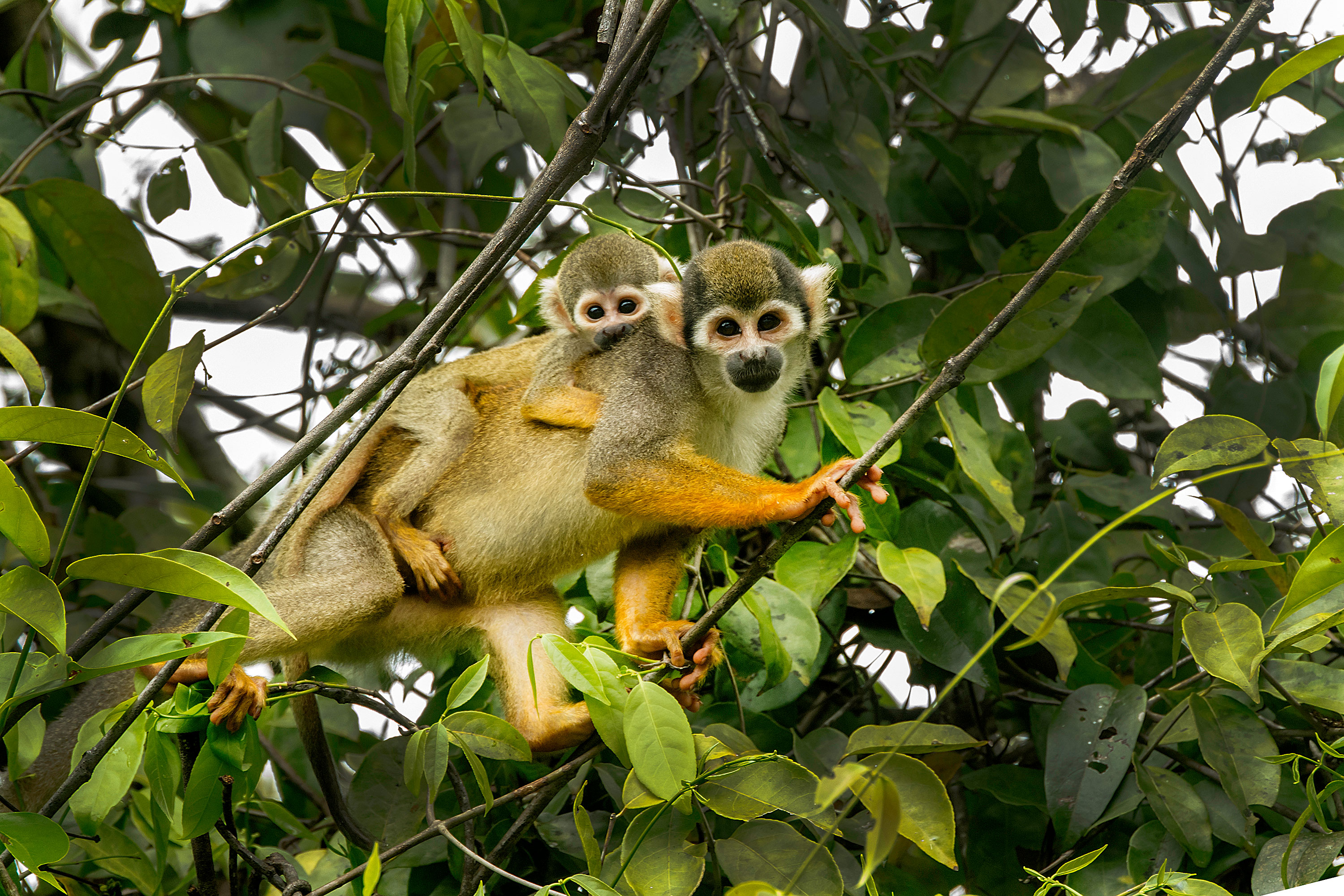 squirrel-monkey-and-baby